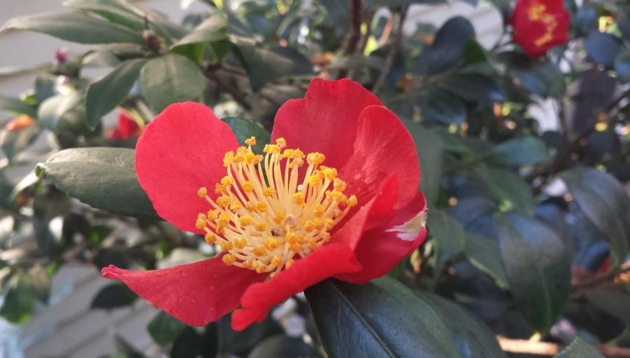 camellia-sasanqua-yuleide
