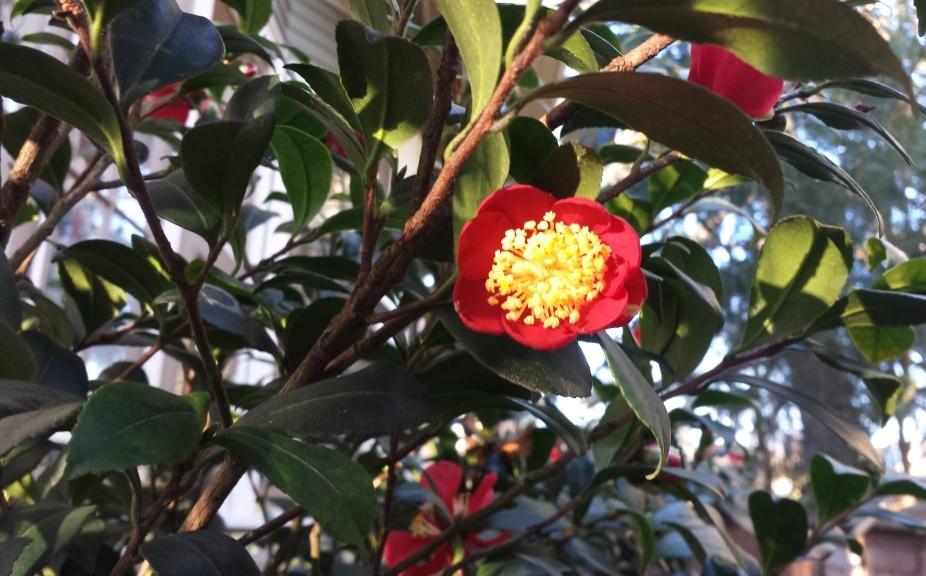 camellia-sasanqua-yuletide-2